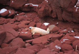stranded harp seal pup