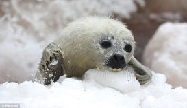 Struggling whitecoat harp seal pup