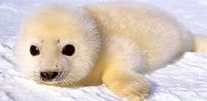 whitecoat harp seal pup - local2.ca